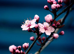 Blossom by Sharani Robins